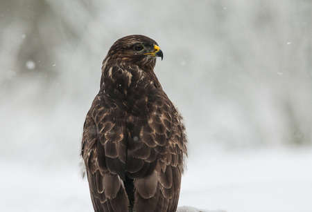 zopilote: Portrait of Common Buzzard (Buteo buteo) in the winter, of looking in the right direction. Frosty and snowy winter day, Poland, Bory Tucholskie National Park. Horizontal view. Foto de archivo