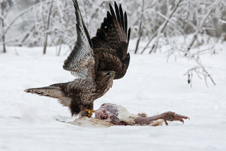 Common Buzzard (Buteo buteo) with its wings spread immediately after landing when the found the carcass of a turkey in a very cold and snowy December day. Poland, Bory Tucholskie National Park. horizontal view