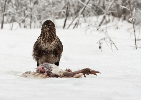 Common Buzzard (Buteo buteo) sitting on hunted turkey in a very cold and snowy December day. Poland, Bory Tucholskie National Park. horizontal view