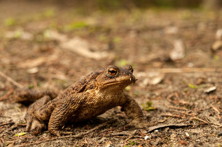 bufo toad: European Toad (Bufo bufo) sitting on the ground in early spring during mating season. Close horizontal view.