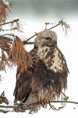 zopilote: Rough-legged buzzard (Buteo lagopus) in winter sitting on a fallen branch spruce, just above the ground.Frosty,snowy morning in Poland.Vertical view