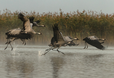 A group of six cranes (Grus grus) running through the water and kicking to fly Autumn, foggy morning in the Bory Tucholskie National Park in Poland