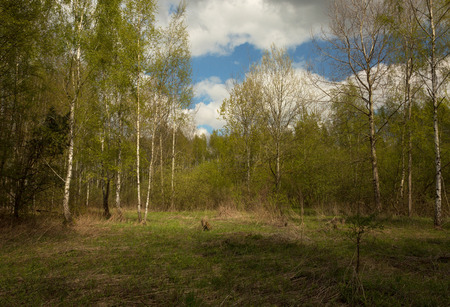 Fresh green, spring birch forest in Poland in April. Beautiful, sunny, forest landscape. Horizontal view.