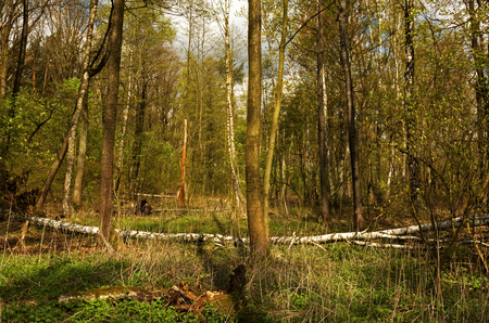 Dense scrub in the forest in early spring. Poland in April.Horizontal view. Reklamní fotografie