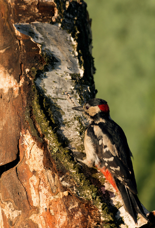 Greater Spootted Woodpecker (Dendrocopos major) sitting on a rotting birch stalk and looking under the bark of an insect.Sunny May morning in Poland. Vertical view. Stock Photo