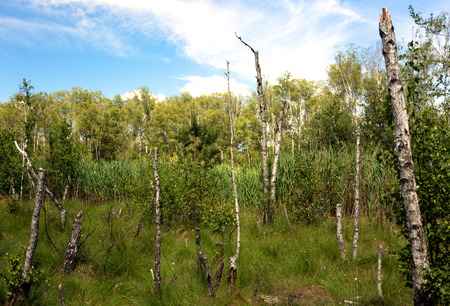 Stumps of dead birches on a forest marsh, overgrown with reeds and dense grass, in a beautiful sunny day under blue sky with white clouds. Poland in june. Horizontal view. Reklamní fotografie