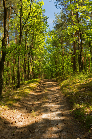 Landscape of forest,dirty road with oaks growing around in a beautiful June morning, under blue sky. Poland. Vertical view. Reklamní fotografie