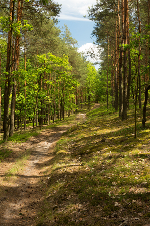 Sandy road curving among pines and oaks in the forest. Beautiful, sunny summer day in Poland. Vertical view.