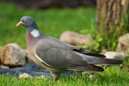 Wild Wood pigeon (Columba palumbus) standing on meadow in summer.Close view with clearly visible details of plumage, beak and eyes.Horizontal view.Poland.