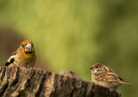 Young Hawfinch and Tree sparrow are sitting side by side on a truncated tree trunk. Summer in Poland.Horizontal view.