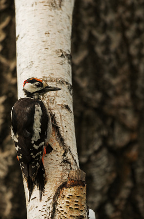 Young Greater spotted woodpecker Dendrocopos major) sitting on the birch tree in summer morning,Clearly visible details of plumage and wiping the fluff on the birds head. Vertical view. Reklamní fotografie