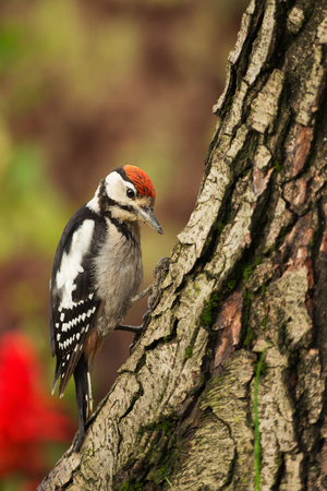 Young Greater Spotted Woodpecker in summer, sitting on a tree trunk and looking for insects to eat.Polish summer. Close, vertical view.