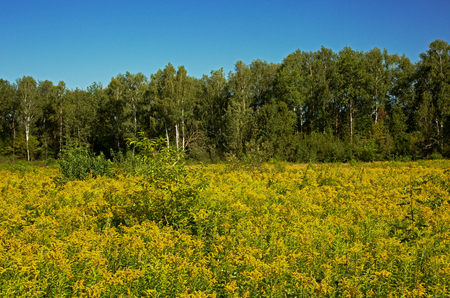 Meadow with blooming grasses and herbs and in the distance the forest wall, under blue sky in summer. Poland in August.Horizontal view