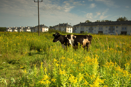 Cow graze on a meadow at a newly built housing estate near Warsaw. Summer in Poland.Horizontal view.