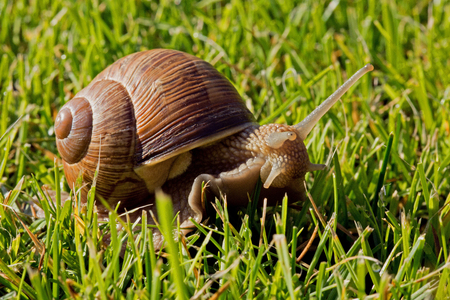 Snail with beautiful shell and protruding antennae and head crawling on the lawn. Summer in Poland. Close, horizontal view.
