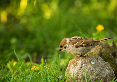 Eurasian Tree sparrow (Passer montanus) in summer spotted in seed grass. Poland in summer.Horizontal view.