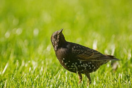 Starling(Sturnus vulgaris) sitting on the grass and looking up.Poland in summer.Horizontal view.