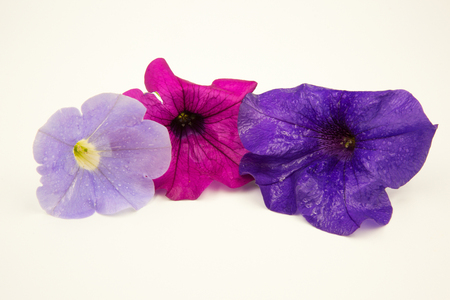 Four Surfinia Petunia flowers (Petunia × hybrida hort. Ex Vilm)), purple and blue and pink isolated on white background.Close horizontal view