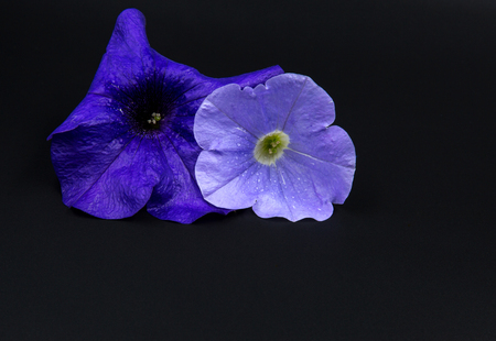 Two petunia, purple and blue surfinia flowers isolated on black background.Close horizontal view