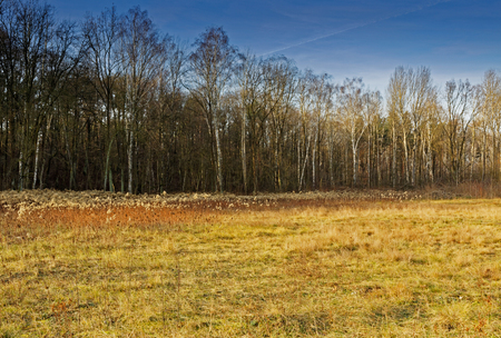 Autumn landscape with a mid-forest meadow overgrown with dry grasses and a wall of birch forest in the background.Poland in Noveber.Horizontal view