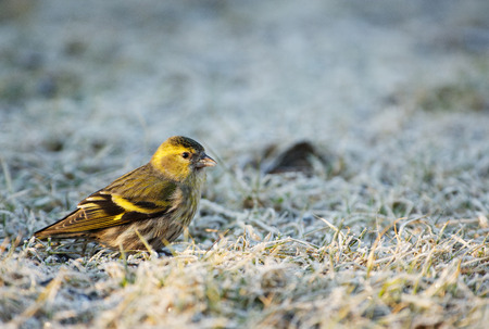 Siskin (Carduelis spinus) sits on the frosted grass in the morning and searches for seeds. Spring, March in Poland. Horizontal view.