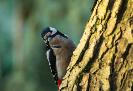 Greater spotted woodpecker (Dendrocopos major), sits on a tree trunk and searches for worms on a March morning. Poland in the spring.Horizontal view Reklamní fotografie