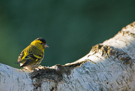 Siskin male in the morning, on the trunk of a birch eats seeds.Horizontal view. Reklamní fotografie