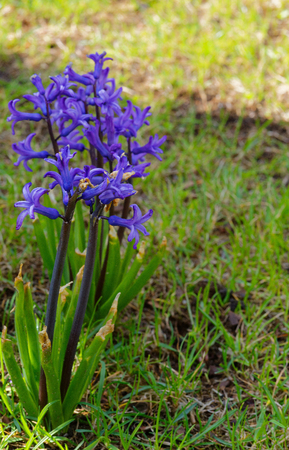A group of purple eastern hyacinths (Hyacinthus orientalis L.) in the spring in the garden.Close,vertical view.