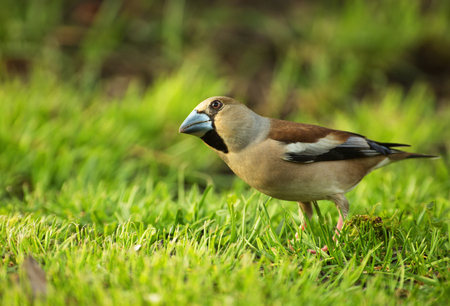Female of hawfinch (Coccothraustes coccothraustes) in spring sitting on the grass, spring,april