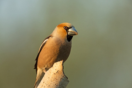 Male of hawfinch in the first morning sunshine, sitting on a branch.Close, horizontal view
