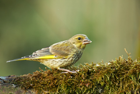 The Greenfinch male (Carduelis chloris) sits on a mossy tree trunk and eats sunflower seeds. May morning in Poland. Horizontal view Stok Fotoğraf