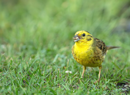 Male of yellowhammer (Emberiza citrinella) on beautiful green grass in spring, eats spilled sunflower seeds. Pland in spring.Horizontal view.