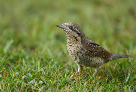 Wryneck (Jynx torquilla) sits on the grass anxious and looks for a rival in the breeding area. An early morning in Poland. Horizontal view.