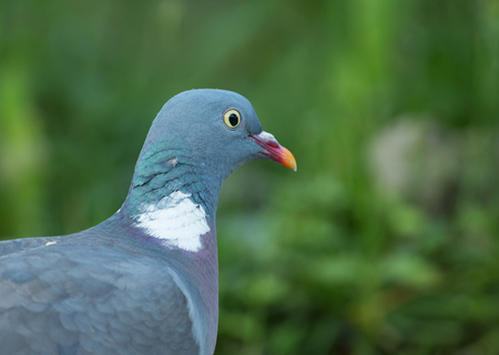 Portrait of Wood pigeon (Columba palumbus).Close view of wood pigeon , sunny morning in june