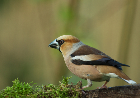 Early in the morning, Hawfinch (Coccothraustes coccothraustes) sits on a mossy branch of a tree. Poland in June. Horizontal view. Reklamní fotografie - 104422739