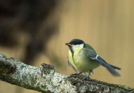 June morning, the young Great tit (Parus major) sits flapping wings and calling parents, waiting for feeding.Poland, horizontal view.