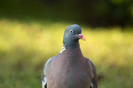 Portrait of wood pigeon (Columba palumbus) ,close,front view.Poland in june,horizontal view