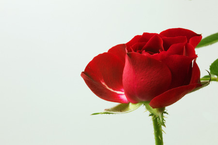 Close Up photo of a red rose flower isolated on white with copy space on the left side.Horizontal view from the side.