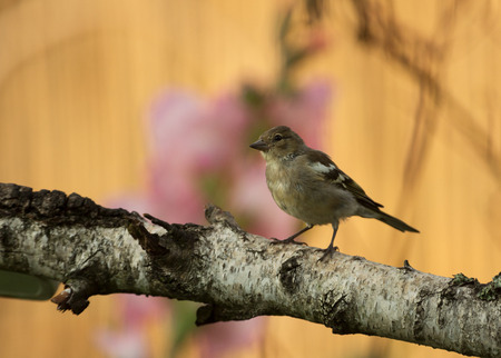Young Chaffinch (Fringilla coelebs) sits on a branch in a beautiful morning light, against a background of flowers and a dry reed. Poland in July, horizontal view Stok Fotoğraf