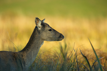Female of Fallow deer on the meadow in autumn in the light of the setting sun. Clearly visible eye and fur details. Close, horizontal view. Stok Fotoğraf