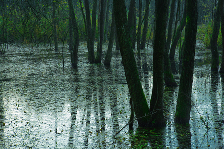 Early autumn morning on a forest swamp with flooded trees in the water and their reflection in water. Poland in the autumn. Horizontal view.