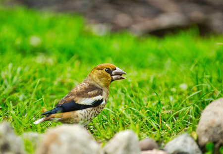 A young hawfinch (Coccothraustes coccothraustes) sits on the grass on a beautiful May morning. Wild Poland.Horizontal view. Imagens