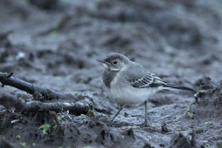 A young white wagtail (Motacilla alba) is looking for food in the mud at the edge of the pond. Early June morning in the shade. Wild Poland.Horizontal view.