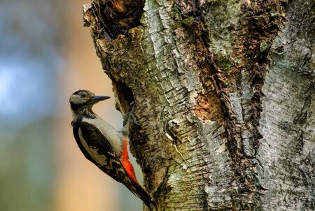 Greatter spotted woodpecker (Dendrocopos major) sits on an old birch tree at the entrance to its nest Stok Fotoğraf