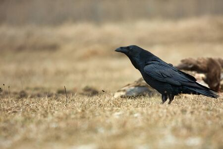 A lonely raven (Corvus corax) in a forest clearing, in the early spring. Poland in March