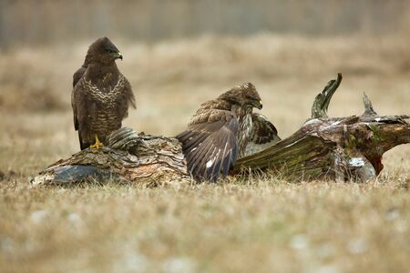 Two Common buzzards (Buteo buteo) are sitting in a meadow in the winter, in January.Poland.Horizontal view.
