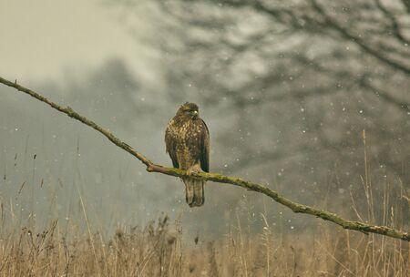 Buse variable (Buteo buteo) assis sur une branche d'arbre.La Pologne en hiver.Vue horizontale.