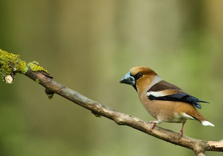 Male of Hawfinch (Coccothraustes coccothraustes) sits on a dry tree branch in spring.Poland in may.Horizontal view Stok Fotoğraf