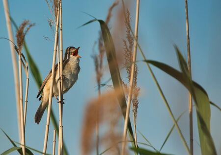 Great Reed-Warbler (Acrocephalus arundinaceus) sings sitting on top of a reed. Spring in Poland.Horizontal view.