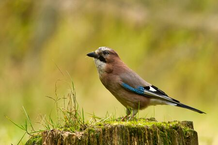 Jay (Garullus glandarius) sits on the trunk of the felled tree. Autumn in Poland. Horizontal view. Reklamní fotografie - 128430287